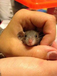 looks like a baby Dumbo rat