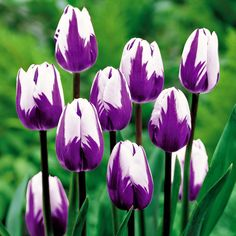 15 Gambar Bunga Tulip Terbaik Bunga Tulip Gambar Dan Kebun Bunga