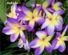 200 Pcs Plumeria Frangipani Hawaiian Lei Flower Seeds Rare Exotic Egg Flower Seeds Beauty Your Garden Wedding Party Decoration