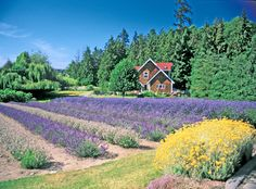 Purple Haze Lavender Farmhouse Vacation Rental and Field
