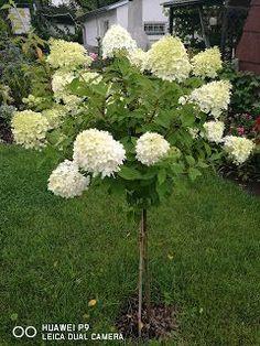 Yard Landscaping, Geraniums, Pathways, Flora, Pergola, Landscape, Gardens, Craft Tutorials, Hydrangea Care