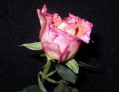 Rosen kandieren und haltbar machen