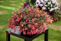 California Spring Trials Sneak Peek: New Annuals For 2016 Large Containers, Begonia, Hanging Baskets, Petunias, Poinsettia, Trials, Spring, Perennials, Flower Power