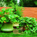 Vegetable gardens in pots- quick tips on growing cucumbers, tomatoes, potatoes and carrots on your porch in pots.
