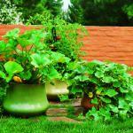 Veggies in pots