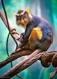 Wolf's mona monkey. The Wolf's mona monkey, also called Wolf's guenon, is a colorful Old World monkey in the Cercopithecidae family. It is found in central Africa. from AmiPlanet  Google+