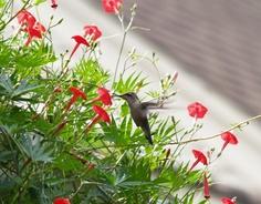 Cardinal Climber Vine Seeds(Ipomoea x Multifida) Hummingbirds love this vine ! Petunias, Cypress Vine, Cottage Garden Plants, Garden Whimsy, Cottage Gardens, Garden Arches, How To Attract Hummingbirds, Attracting Hummingbirds, Vides