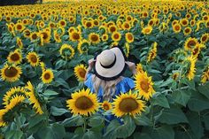Sunflower Daze, Sunflower Field, Grinter Farms, Kansas
