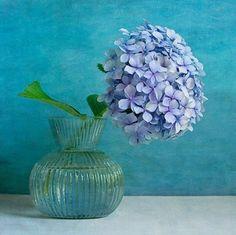Blue Hydrangea -
