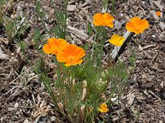 Golden Poppies (eschscholzia californica): Eschscholzia californica (California poppy, Californian poppy, golden poppy, California sunlight, cup of gold) is a species of flowering plant in the family Papaveraceae, native to the United States and Mexico, and the official state flower of California.  https://en.wikipedia.org/wiki/Eschscholzia%20californica