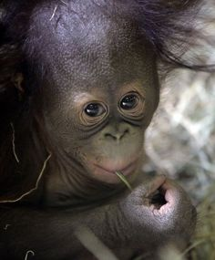 Tuah, the five month-old Bornean orangutan looks on in the Great Ape Building at Utah's Hogle Zoo Friday, April 10, 2015, in Salt Lake City. Tuah's parents, Eve and Elijah, both passed away last fall; Eve just a few weeks after Tuah's birth. After four months of round-the-clock care from zookeepers and his older sister, an orphaned orangutan baby whose father gained national fame by correctly picking the Super Bowl winner seven straight years is ready to meet the public. (AP Photo/Rick…