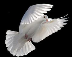 White Dove Animals and Birds Seen On www.coolpicturegallery.us