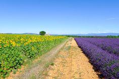 LVD14 - Champs de tournesols et de lavandes à Valensole - Alpes de Haute Provence 04
