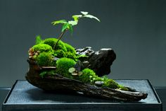 bonsai aquarium for moss Plants, Small Gardens, Garden Terrarium, Bonsai Pots, Mini Garden, Japanese Garden, Moss, Bonsai, Moss Garden