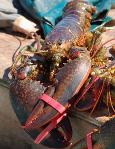 Nothing better than a 'Maine Lobster'