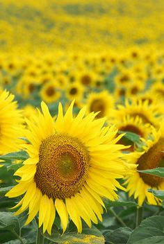 Sunflowers in bloom,