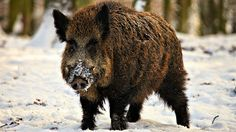 danger wild pigs wallpaper, wild pig photography