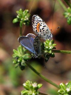Endangered Species of Butterflies ~El Segundo blue butterfly