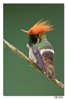 The Rufous-Crested Coquette Hummingbird (Lophornis delattrei) are rare, yet widely distributed in the eastern lowland areas of the southern Central American countries of Costa Rica and Panama & SA; and absent from northwestern Amazonia. All Coquettes are small with a white band on the rump.