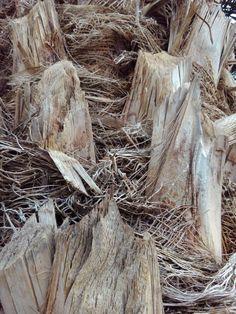 Tronco y cascabotes cortos de Palmera canaria (Phoenix canariensis).