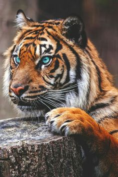 I think the eyes have been photo-shopped (not really blue) but still a beautiful animal