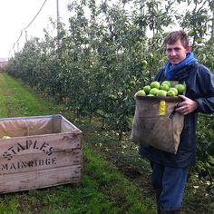 Granny Smiths just picked#fresh #staplesapples #mainridge #juicy##morningtonpeninsula # can't get any fresher