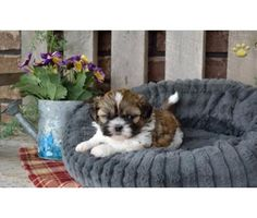oyto shih tzu pups is a Shih-Tzu For Sale in Dalton GA