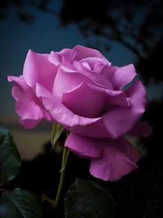 First Rose of the Season by paulfarrellphoto, via Flickr