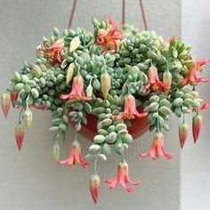 Cacti and succulents that hang or trail include Othonna capensis 'Ruby Necklace', Echinopsis Chamaecereus 'Peanut Cactus', Hildewintera Colademononis. Hanging Succulents, Hanging Flowers, Cacti And Succulents, Hanging Plants, Indoor Plants, Flowering Succulents, Succulent Gardening, Container Gardening, Succulent Garden Ideas