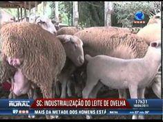 SC- Industrialização do leite de ovelha - Record News Rural