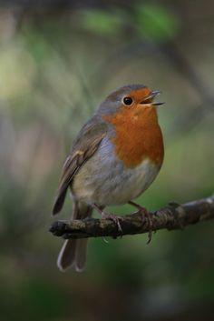 Robin Redbreast | Flickr - Photo Sharing!