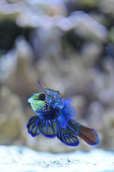 mandarinfish, seattle aquarium | fish + underwater photography