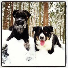 Giant Schnauzer and Border Collie