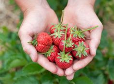 Here are the best tips and tricks for planting strawberries.Never make these common mistakes again with this guide to perfect strawberry plants! Grow your best strawberry crop yet! Strawberry Moscato, Strawberry Farm, Strawberry Picking, Strawberry Plants, Grow Strawberries, Growing Blueberries, Paleo Diet Meal Plan, Diet Meal Plans, Paleo Meals