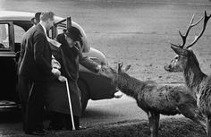 Winston Churchill dà da mangiare a due cervi nel parco di Richmond, a Londra, 25 marzo 1963. Churchill era nato nel 1874 e in questa foto aveva 89 anni. (Terry Fincher/Express/Hulton Archive/Getty Images)