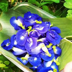 Butterfly Pea Flowers being harvested in our farm Butterfly Pea Flower Tea, Blue Butterfly, Beautiful Gif, Beautiful Flowers, Tropical Kitchen, Blue Food, Organic Farming, Edible Flowers, Exotic Flowers