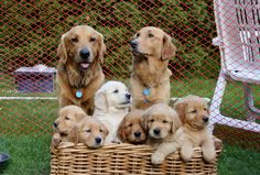 What a beautiful Golden Retriever family!