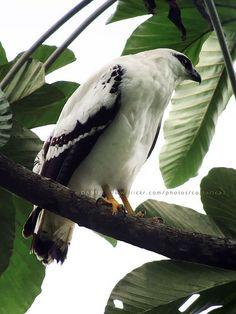 Pseudastur albicollis, White hawk   por Daniel-CR