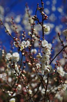 梅 白難波しろなにわしろなんば Ume blossoms / Japanese apricot...