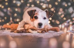 Jack Russell Winter Christmas Cookies by Heavenly Pet Photography #dog #photographer #canon #lights #bokeh