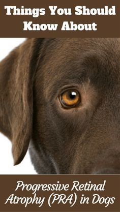 Progressive Retinal Atrophy is an inherited disease that can lead to complete loss of vision. Here's what you need to know about this serious condition. Cute Dogs And Puppies, Big Dogs, Labrador Puppies, Labrador Retriever, Kinds Of Dogs, Dog Eyes, Adorable Dogs, Dog Care Tips, Black Labrador