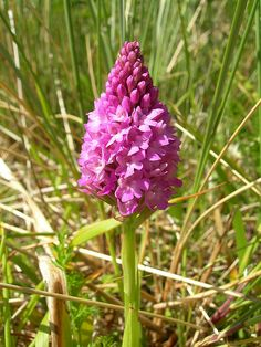 Pyramidal Orchid - Anacamptis pyramidalis by Peter Herring, via Flickr