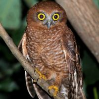 Mayotte Scops Owl (Otus mayottensis) - Picture 3 of 3 - The Owl Pages
