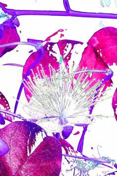 'Kapernblüte-Variation3' von lisa-glueck bei artflakes.com als Poster oder Kunstdruck $18.03