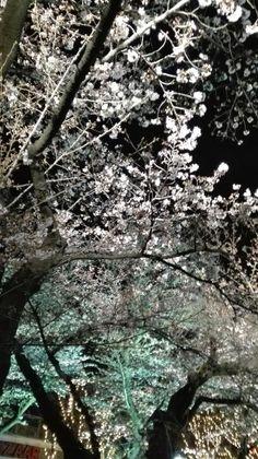 夫婦でとしまえん夜桜散歩