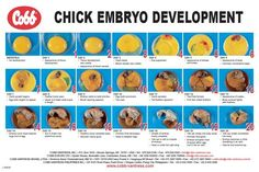 Chick Embryo Development Chart - Infographic