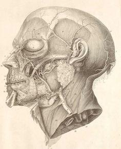 facial-anatomy.jpg (660×815)
