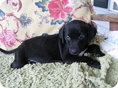 Philadelphia, PA - Labrador Retriever/Pointer Mix. Meet Conrad, a puppy for adoption. http://www.adoptapet.com/pet/13981070-philadelphia-pennsylvania-labrador-retriever-mix