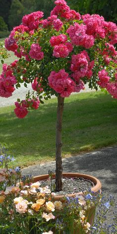 Flower carpet tree rose, by tesselaarusa