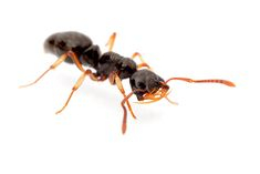Name: Thaumatomyrmex atrox Distribution: South America Famous for: beguiling rarity, and amazing teeth
